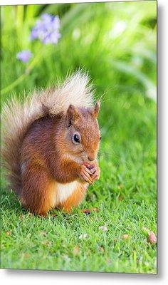 Red Squirrel At Haweswater Metal Print