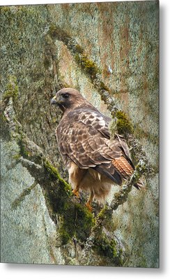Red-tail Hawk Metal Print by Angie Vogel