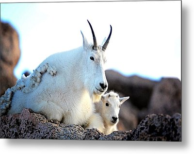Rocky Mountain Goats 2 Metal Print by Lena  Owens OLena Art