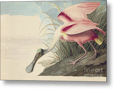Roseate Spoonbill  Metal Print by Celestial Images