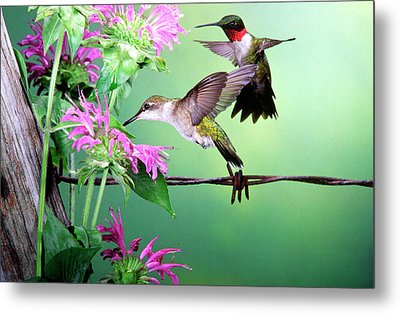 Ruby-throated Hummingbird (archilochus Metal Print by Richard and Susan Day