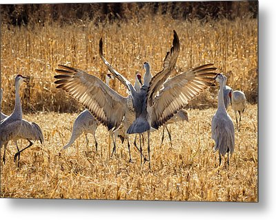Sandhill Cranes In The Corn Fields Metal Print by Maresa Pryor