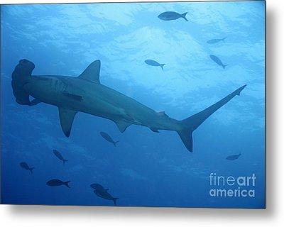 Scalloped Hammerhead Sharks Metal Print by Sami Sarkis