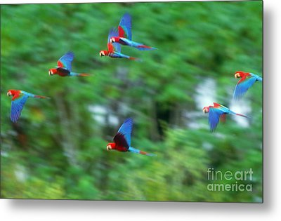 Scarlet And Green-winged Macaws Metal Print