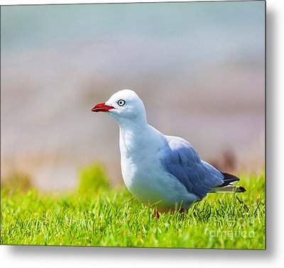 Seagull Metal Print by MotHaiBaPhoto Prints