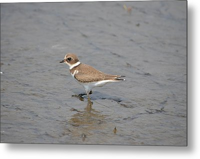 Metal Print featuring the photograph Semipalmated Plover by James Petersen