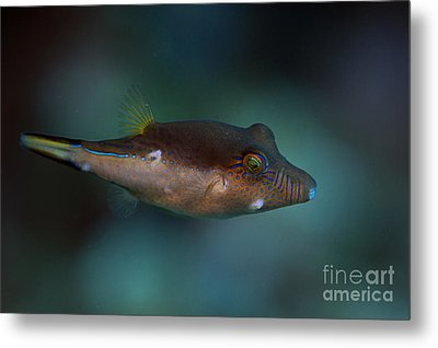 Sharpnose Puffer Metal Print by JT Lewis