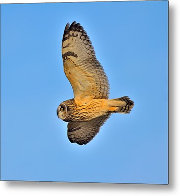 Metal Print featuring the photograph Short-eared Owl In Flight by Kathy King