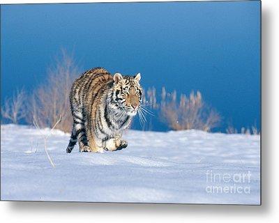Siberian Tiger Metal Print by Alan Carey
