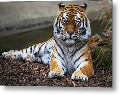 Siberian Tiger Metal Print by Svetlana Sewell