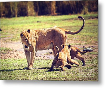 Small Lion Cubs With Mother. Tanzania Metal Print by Michal Bednarek