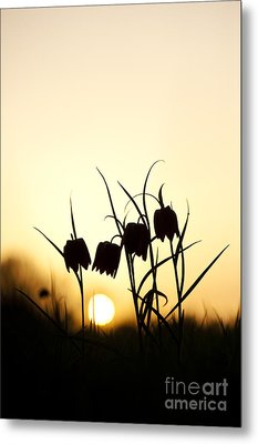 Snakes Head Fritillary Flowers At Sunset Metal Print by Tim Gainey