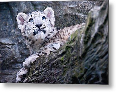 Snow Leopard Cub Metal Print by Chris Boulton