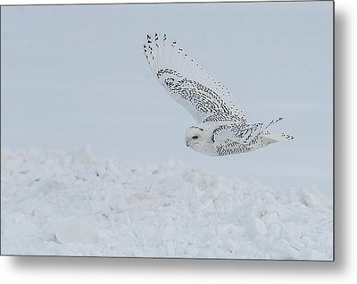 Metal Print featuring the photograph Snowy Owl #2/3 by Patti Deters