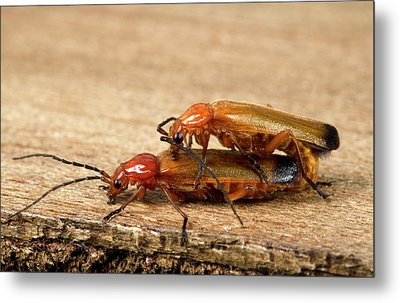 Soldier Beetles Mating Metal Print