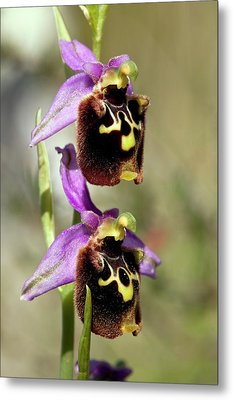 Spider Orchid (ophrys Orphanidea) Flower Metal Print
