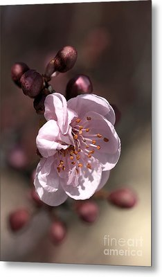 Metal Print featuring the photograph Spring Blossom by Joy Watson
