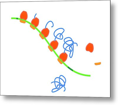 Stages Of Protein Synthesis Metal Print by Science Photo Library