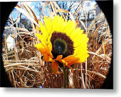 Sunflower  Metal Print by Jon Baldwin  Art