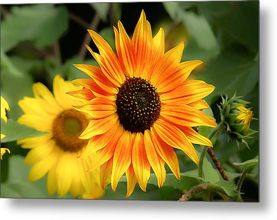 Metal Print featuring the photograph Sunflowers by Dennis Bucklin
