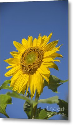 Sunny Day Metal Print by Alana Ranney