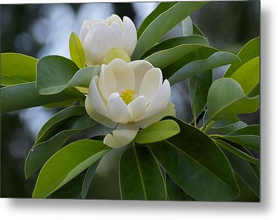 Swamp Magnolia Metal Print by Greg Vizzi