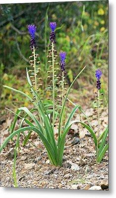 Tassel Hyacinth (muscari Comosum) Metal Print