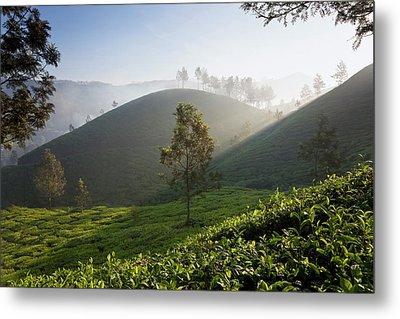 Tea Plantations, Munnar, Western Ghats Metal Print by Peter Adams