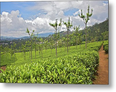 Tea Plants (camellia Sinensis Metal Print by Connie Bransilver