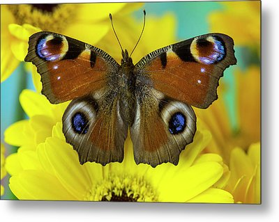 The European Peacock Butterfly, Inachis Metal Print