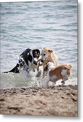 Three Dogs Playing On Beach Metal Print by Elena Elisseeva