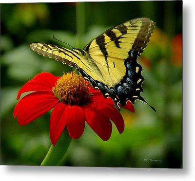 Tiger Swallowtail  Metal Print