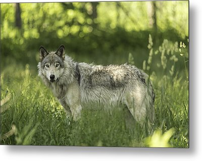 Timber Wolf Metal Print by Josef Pittner