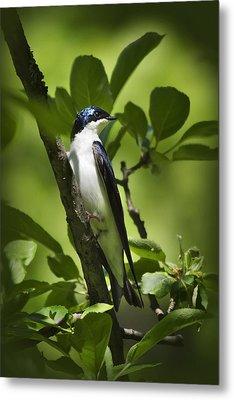 Tree Swallow Metal Print by Christina Rollo