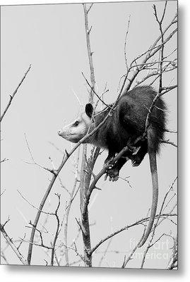 Treed Opossum Metal Print by Robert Frederick
