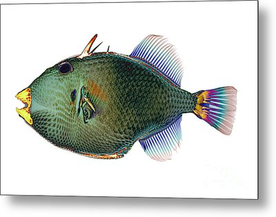 Triggerfish X-ray Metal Print by D Roberts
