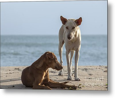 Two Homeless Dogs On The Beach Metal Print by Patricia Hofmeester