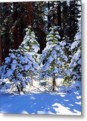 Usa, California, Snow-covered Red Fir Metal Print by Jaynes Gallery