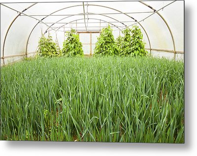 Vegetables Growing In Polytunnels Metal Print by Ashley Cooper