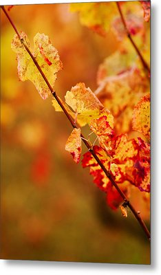 Vineyard In Autumn, Gaillac, Tarn Metal Print by Panoramic Images