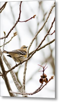 Metal Print featuring the photograph Warbler Calls by Annette Hugen