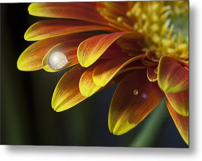 Waterdrop On A Gerbera Daisy Petal Metal Print