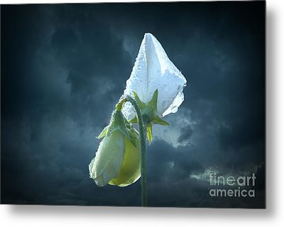 Metal Print featuring the photograph White Sweet Pea  by Marjorie Imbeau