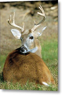 White-tailed Deer Odocoileus Virginianus Metal Print by Millard H. Sharp