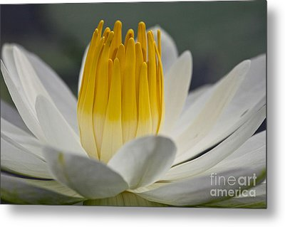White Water Lily Metal Print by Heiko Koehrer-Wagner
