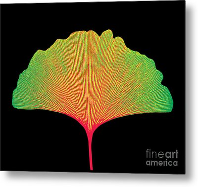X-ray Of Ginkgo Leaf Metal Print by Bert Myers