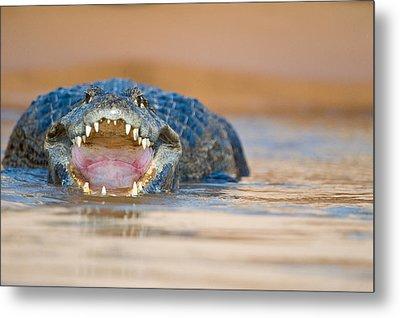 Yacare Caiman Caiman Crocodilus Yacare Metal Print by Panoramic Images