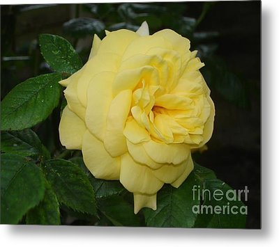 Metal Print featuring the photograph Yellow Rose  by Katy Mei