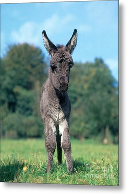 Young Donkey Metal Print by Hans Reinhard