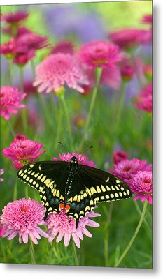 Black Swallowtail Butterfly, Papilio Metal Print